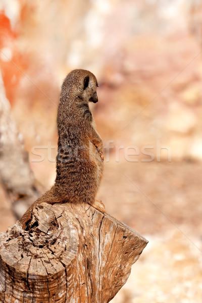 Meerkat Stock photo © igabriela