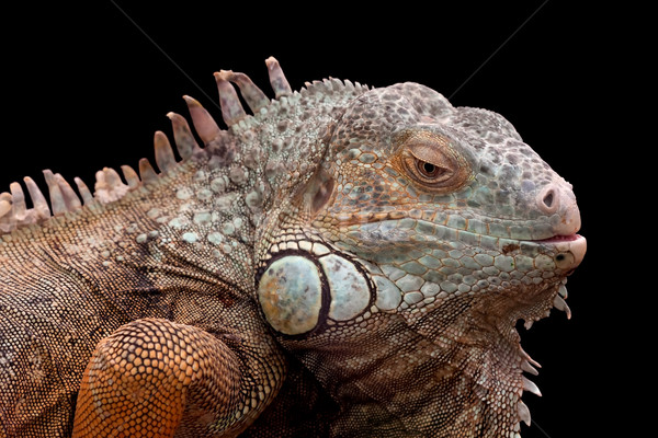 Green Iguana Stock photo © igabriela