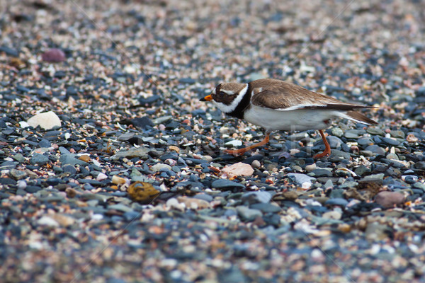 Ringed plover Stock photo © igabriela