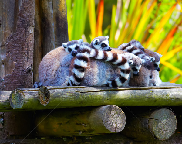 Ring-tailed lemurs Stock photo © igabriela