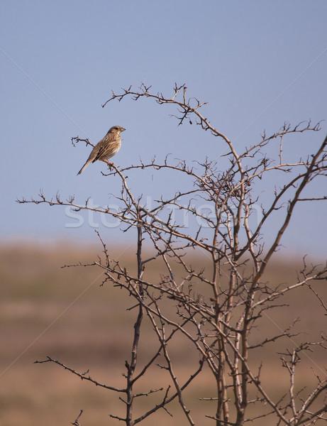Cavo uccello seduta ramo primavera albero Foto d'archivio © igabriela