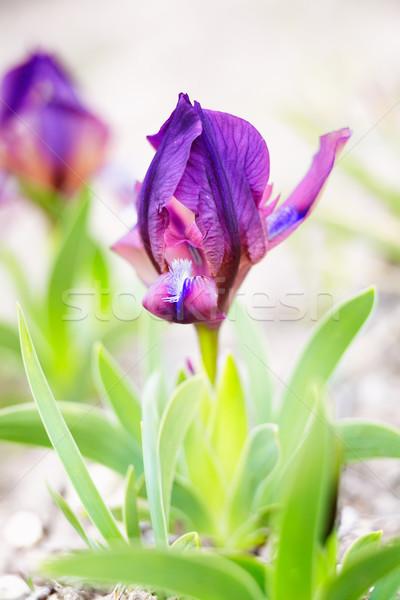 Miniature Dwarf Bearded Iris Stock photo © igabriela