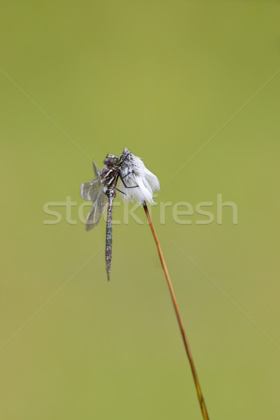 Common Hawker Stock photo © igabriela