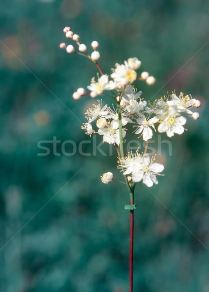 Filipendula vulgaris Stock photo © igabriela