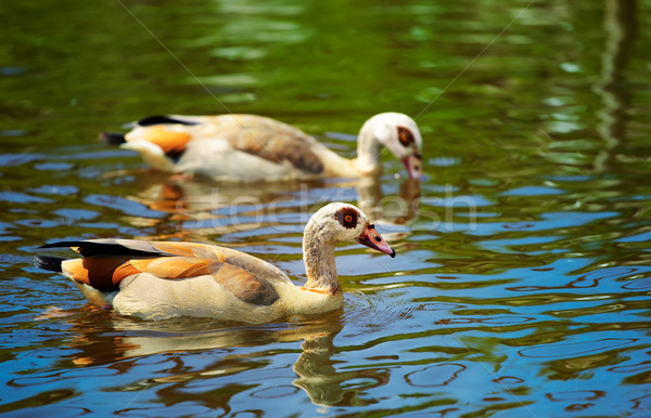 Egyptian Goose (Alopochen aegyptiacus) Stock photo © igabriela