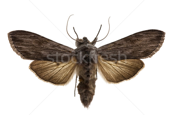 Shark Moth Stock photo © igabriela