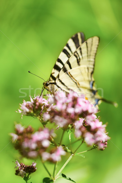 Swallowtail butterfly Stock photo © igabriela