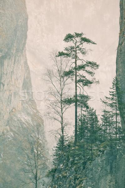 Pinus sylvestris Stock photo © igabriela