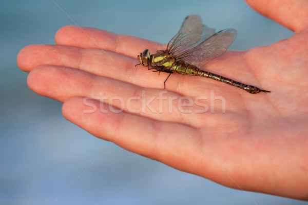 Migrant Hawker Stock photo © igabriela