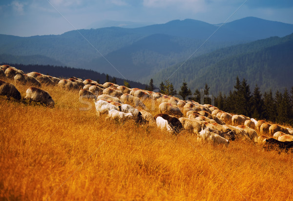 Schapen hoog bergen Roemenië landschap Stockfoto © igabriela