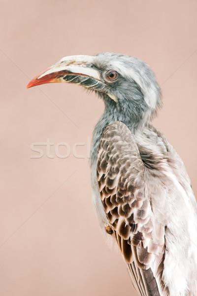 African grey hornbill Stock photo © igabriela