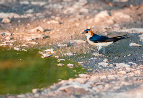Red-rumped Swallow Stock photo © igabriela