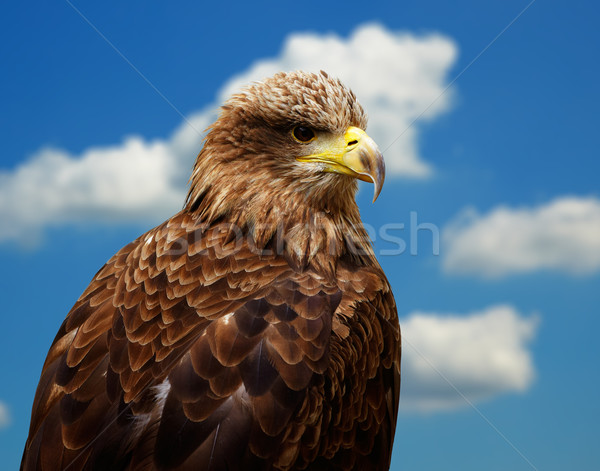 White-tailed Eagle Stock photo © igabriela