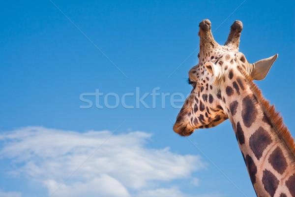 Girafe regarder distance portrait ciel bleu bleu Photo stock © igabriela