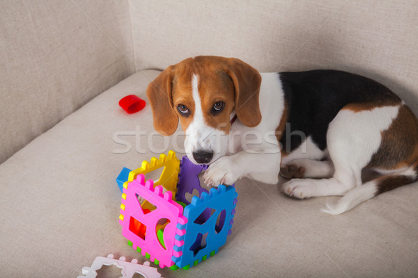Beagle playing on sofa Stock photo © igabriela