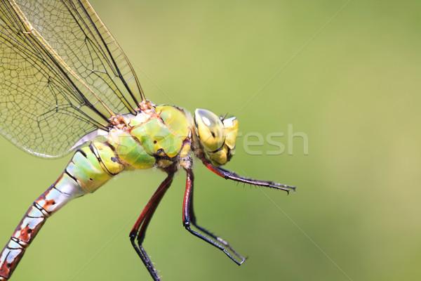トンボ クローズアップ 動物 昆虫 マクロ クローズアップ ストックフォト © igabriela