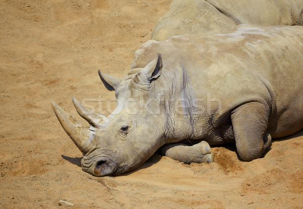 Branco rinoceronte sol meio-dia verão Foto stock © igabriela
