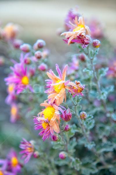 Krizantém virágok őszi idény kert növény ősz Stock fotó © igabriela