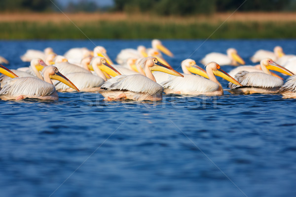 Great White Pelicans Stock photo © igabriela