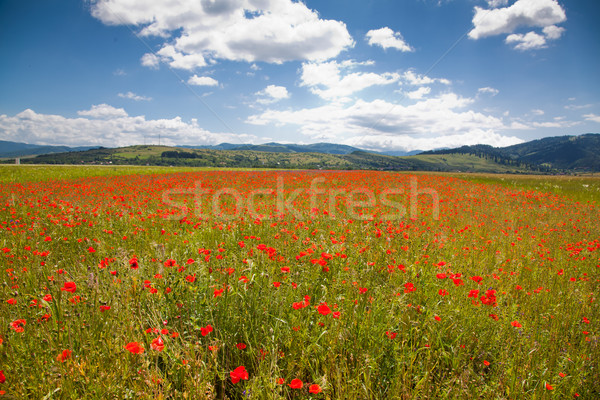 Roemeense platteland poppy veld klaprozen Roemenië Stockfoto © igabriela