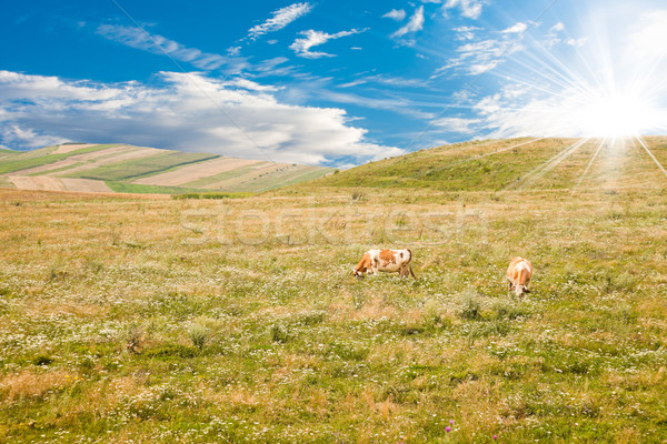 Cows on a pasture Stock photo © igabriela