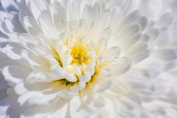 菊 マクロ 画像 白 春 花 ストックフォト © igabriela