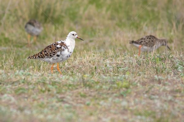 Foto stock: Pássaro · campo · grama · natureza · animal