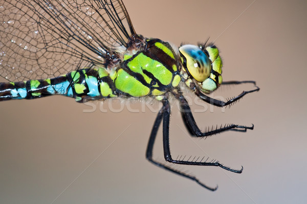 Southern Hawker Stock photo © igabriela