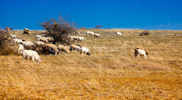 Schapen veld platteland Roemenië Stockfoto © igabriela