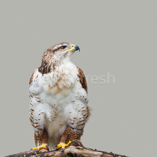 Grijs foto vogels buit Stockfoto © igabriela