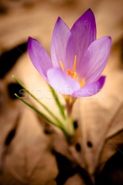 Крокус весны желтый листьев природы красивой Сток-фото © igabriela