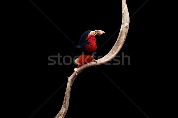 Bearded Barbet Stock photo © igabriela