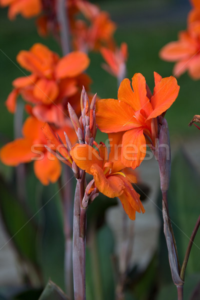Orange Canna Stock photo © igabriela