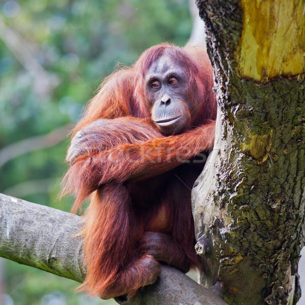 Kadın orangutan oturma şube Dublin hayvanat bahçesi Stok fotoğraf © igabriela