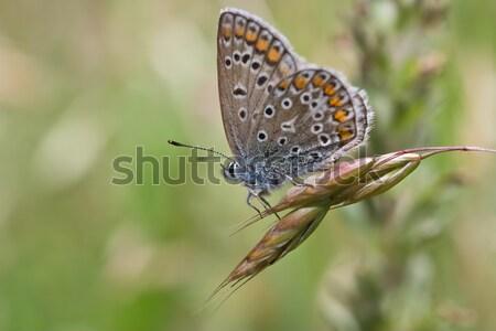 Ardiente cobre sesión paja primavera planta Foto stock © igabriela