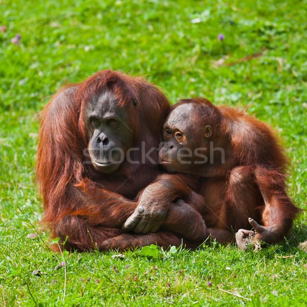 Orangutan anne çocuk kadın bebek Dublin Stok fotoğraf © igabriela