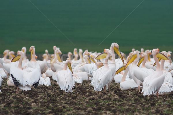 Pelican colony Stock photo © igabriela