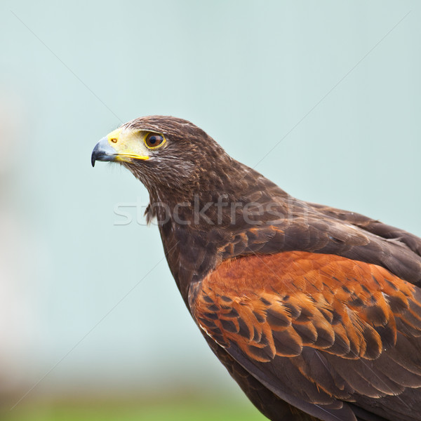Harris Hawk Stock photo © igabriela