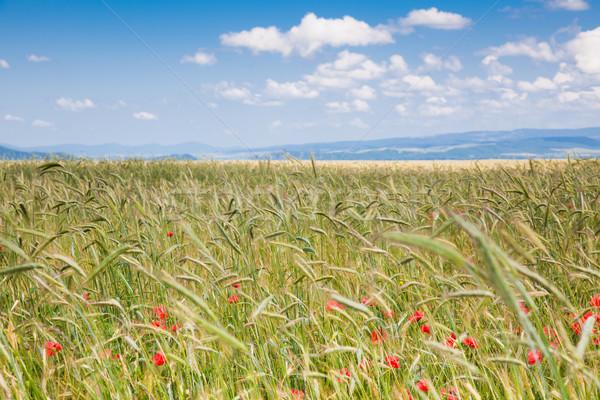 Roemeense platteland veld graan Roemenië zon Stockfoto © igabriela