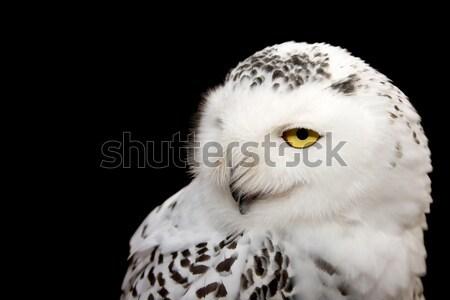 Snowy Owl Stock photo © igabriela