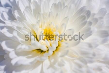 Krizantem makro görüntü beyaz bahar çiçek Stok fotoğraf © igabriela