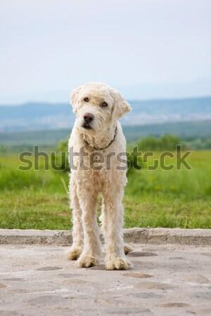 Stock fotó: Juhász · kutya · portré · természet