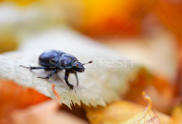 Anoplotrupes stercorosus Stock photo © igabriela