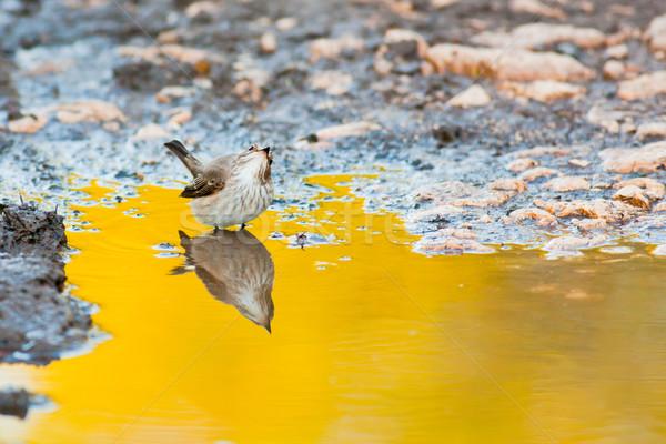 Spotted Flycatcher Stock photo © igabriela