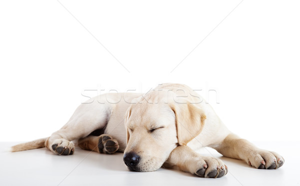 Stock foto: Cute · labrador · Hund · Studio · Porträt · schönen