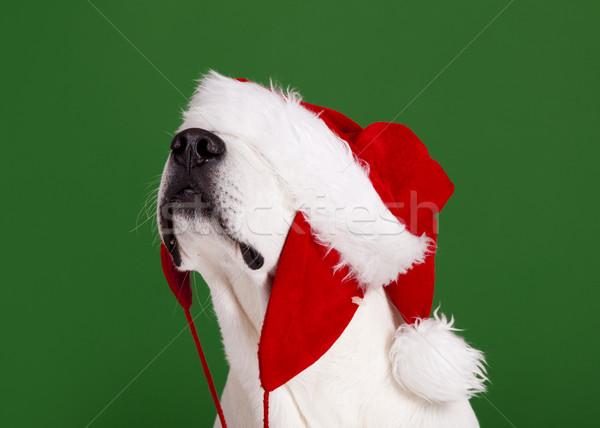 Christmas Dog Stock photo © iko