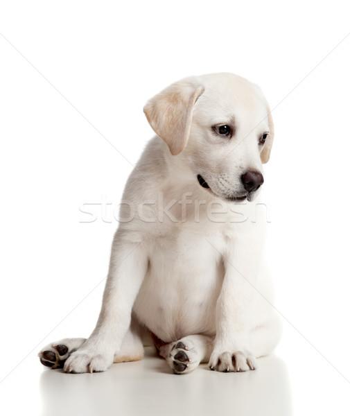 Foto stock: Labrador · bebê · belo · labrador · retriever · creme · cachorro