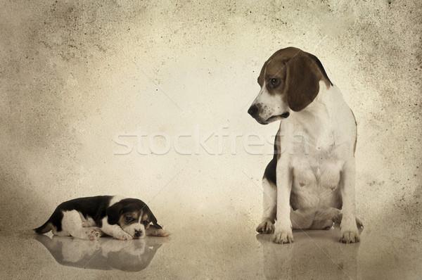 Bigle mamãe gravidez olhando cachorro grunge Foto stock © iko