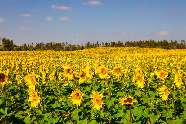 Tournesols prairie photos belle nature paysage Photo stock © iko