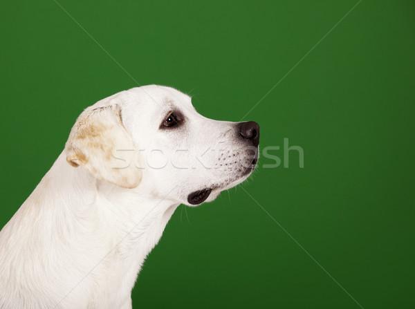 Labrador retriever piękna labrador posiedzenia odizolowany Zdjęcia stock © iko